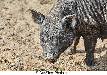 Portrait of Black Pig