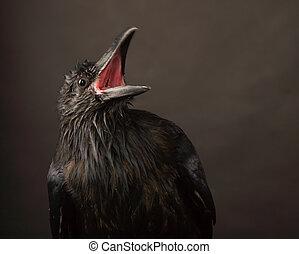black raven - portrait of black raven on gray background