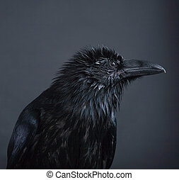 portrait of black raven on gray background
