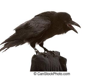 black raven - portrait of black raven on white background