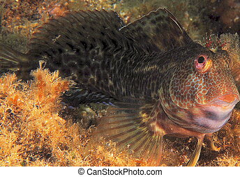 portrait of blenny fish