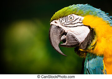 Portrait of blue and gold macaw