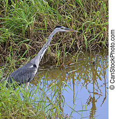 portrait of blue heron in the marsh
