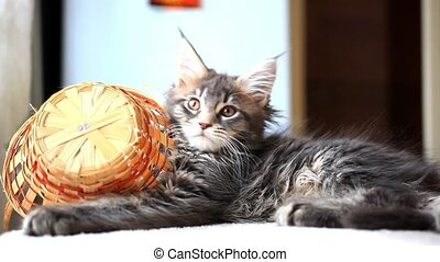 Portrait of blue tabby color Maine coon kitten. HD. 1920x1080