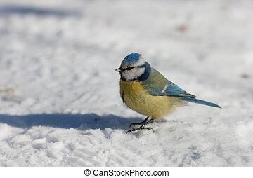blue tit on the snow