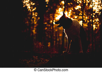 Portrait of Border Collie. Dog sitting in the forest in backlight. High contrast, noisy photo.
