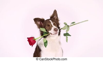 Portrait of Border Collie dog with red rose in her mouth -...