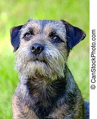 Portrait of Border terrier in the garden
