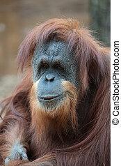 Portrait of bornean orangutan, Pongo pygmaeus, a great ape...