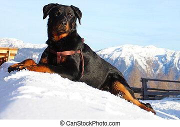 Portrait of Boseron dog in winter mountains
