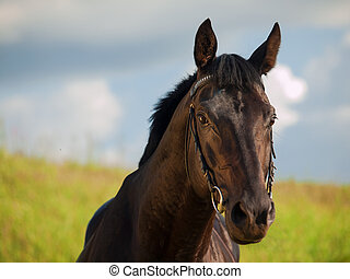 portrait of breed black stallion in the field
