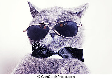 Portrait of British shorthair gray cat wearing sunglasses and a tie bow tie