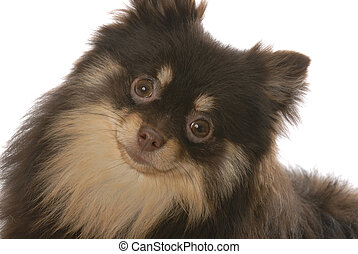 portrait of brown and tan pomeranian puppy on white background
