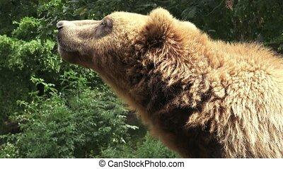 Portrait of brown bear (Ursus arctos beringianus). Kamchatka...