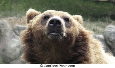 Portrait of brown bear (Ursus arctos beringianus). Kamchatka...