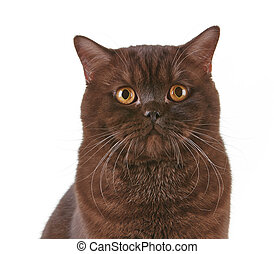 brown british short hair cat - portrait of brown british...