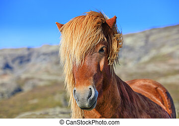 Portrait of brown color Icelandic horse in the field