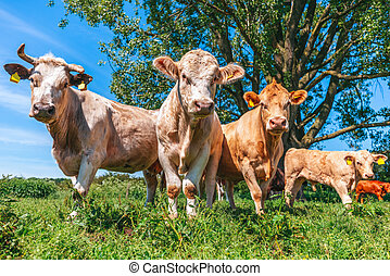 Portrait of brown cows on a meadow