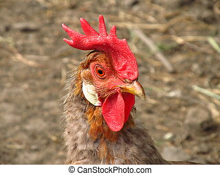 portrait of brown rooster
