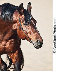 portrait of brown stallion in the desert
