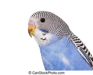 portrait of budgerigar on white