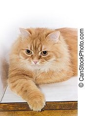 Portrait of calm ginger cat lying on the light surface