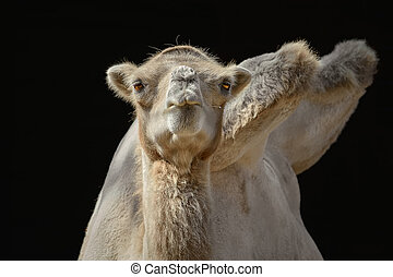 Portrait of Camel against the Dark Background