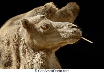 Portrait of Camel with ?igarette against Black Background