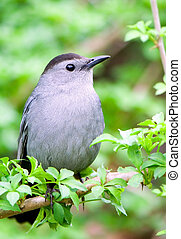 a catbird rests on green branch and looking around