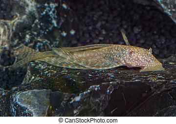 Portrait of catfish (Ancistrus sp.) in aquarium