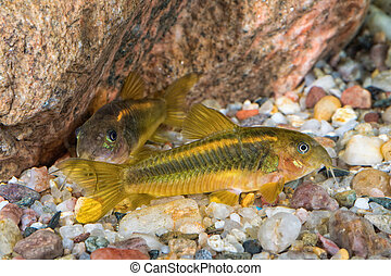 Portrait of catfish (Corydoras sp.) in aquarium