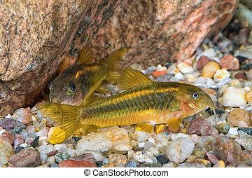 Portrait of catfish (Corydoras sp.) in aquarium