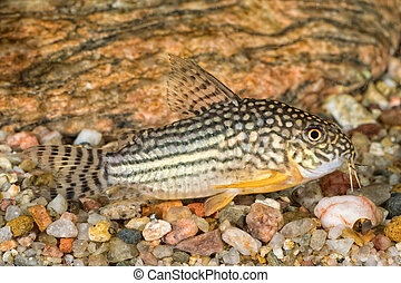 Portrait of catfish (Corydoras sterbai) in aquarium