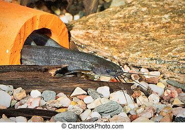 Portrait of catfish (Heteropneusteus fossilis) in aquarium