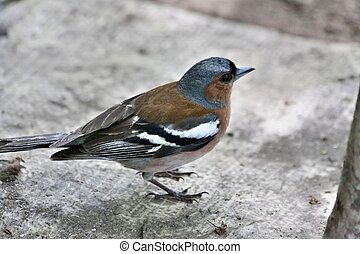 portrait of Chaffinch