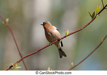 chaffinch on a branch of spring tree