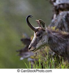 portrait of chamois in grassland (Rupicapra rupicapra)
