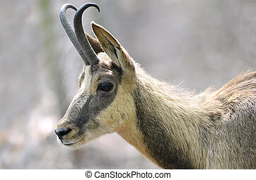 Portrait of chamois