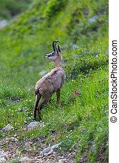 portrait of chamois (rupicapra rupicapra) standing in grassland
