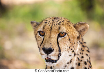 Portrait of Cheetah looking at the camera, Namibia. Selective focus