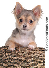 Portrait of chihuahua puppy with paws on trunk isolated