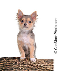 Portrait of chihuahua puppy with paws on trunk with wooden texture isolated on white