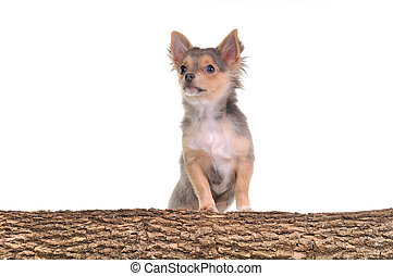 Portrait of chihuahua puppy with paws on trunk with wooden texture isolated