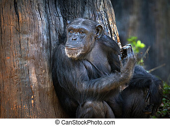 Portrait of Chimpanzee.
