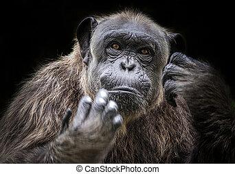 Portrait of Chimpanzee.