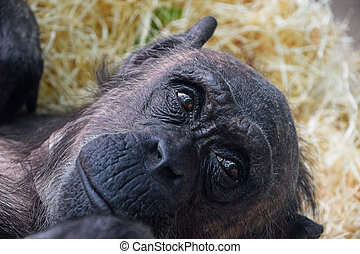 Portrait of chimpanzee looking away