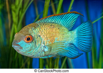 Portrait of cichlid fish (Andinoacara sp.)