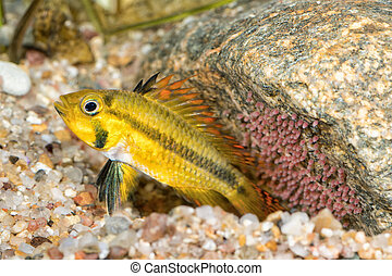 Portrait of cichlid fish (Apistogramma cacatuoides)