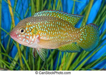 Portrait of cichlid fish (Hemichromis sp.) in aquarium