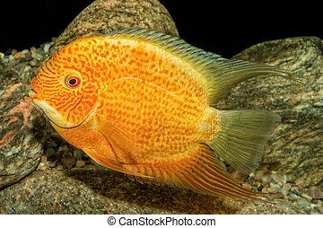 Portrait of cichlid fish (Heros severus) in aquarium